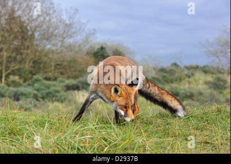 Red fox (Vulpes vulpes) sniffing at territorial scent mark in grassland at forest edge - Stockfoto