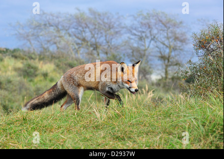 Red fox (Vulpes vulpes) hunting prey by following trail by scent in grassland at forest edge - Stockfoto