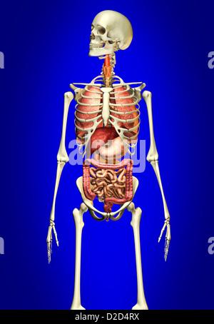 Human anatomy computer artwork - Stock Photo