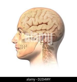 Human head anatomy computer artwork - Stock Photo