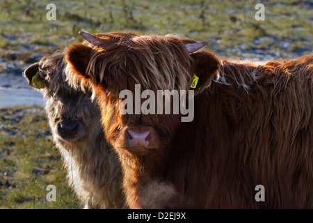 Close-up of two young Highland Calves in the North Yorkshire Dales, near Hawes, in Wensleydale, UK - Stock Photo