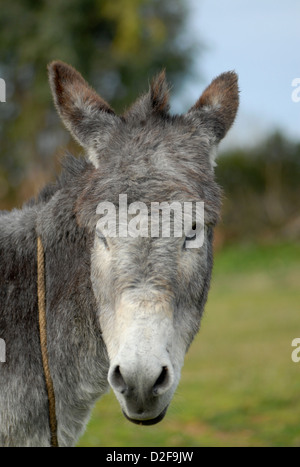 close up of a donkey's face in morocco - Stock Photo