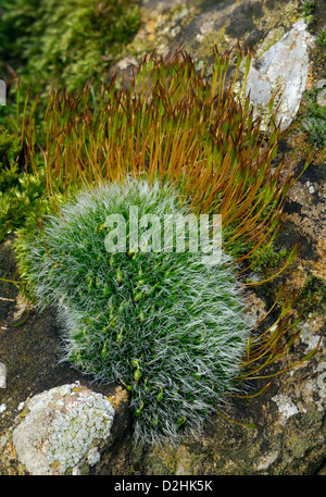 Mosses on Cotswold limestone wall Grey-cushioned Grimmia - Grimmia pulvinata Wall Screw-moss - Tortula muralis - Stockfoto