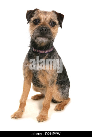 Border Terrier Puppy Against A White Background Stock