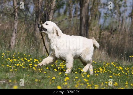 golden retriever retrieving a dummy stock photo royalty free image 60233651 alamy. Black Bedroom Furniture Sets. Home Design Ideas