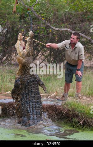Saltwater crocodile (Crocodylus porosus) feeding in the Townsville Sanctuary, Queensland, Australia, Pacific - Stock Photo