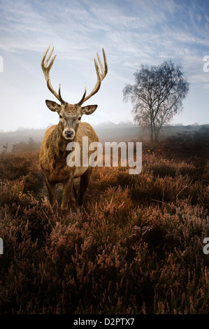 Beautiful forest landscape of foggy misty forest in Autumn Fall with beautiful red deer stag - Stock Photo