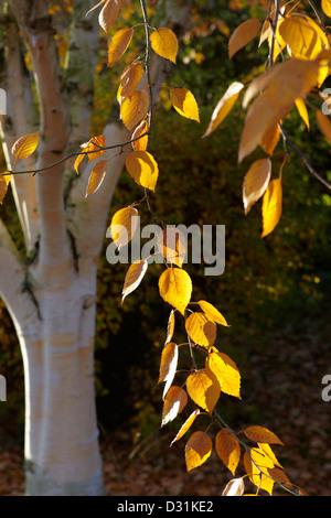 'Betula utilis' Himalayan Birch in autumn - Stockfoto