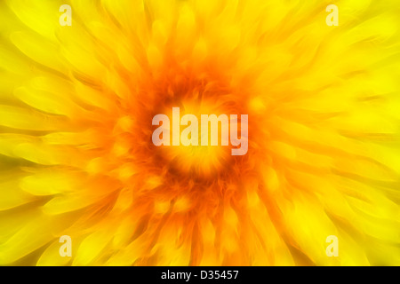 bloom of dandelion - Stock Photo