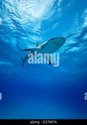 Reef sharks swimming underwater - Stock Photo