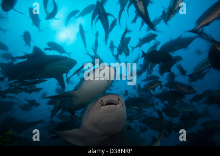 Bull sharks hunting in school of fish - Stock Photo