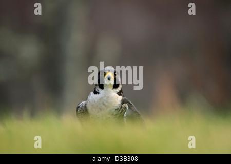 Peregrine Falcon in Scottish Highlands - Stock Photo