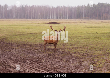 Dear stag in nature - Stock Photo