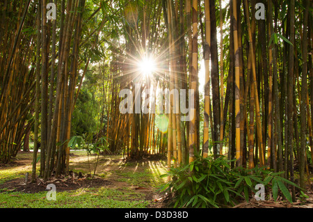 Sun rays through a bamboo forest - Stock Photo
