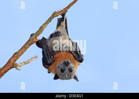 A male Grey Headed Flying Fox, Pteropus poliocephalus, hanging from a branch. Bellingen Island, NSW, Australia. - Stock Photo