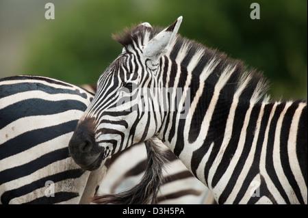 Burchell's zebra (Equus burchellii), Nairobi National Park, Nairobi, Kenya - Stock Photo