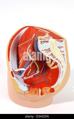 Anatomy female genitalia