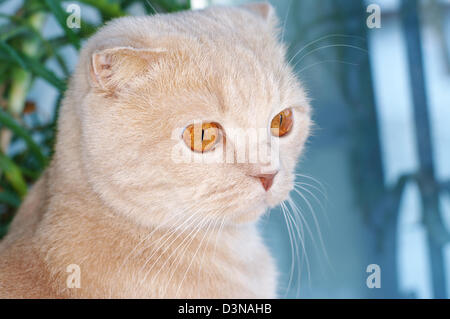 Scottish fold cat sitting on the window sill - Stock Photo