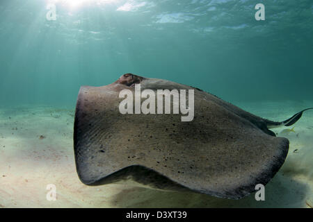 Snorklers and scuba divers interact with Stingrays at Stingray City - Stock Photo