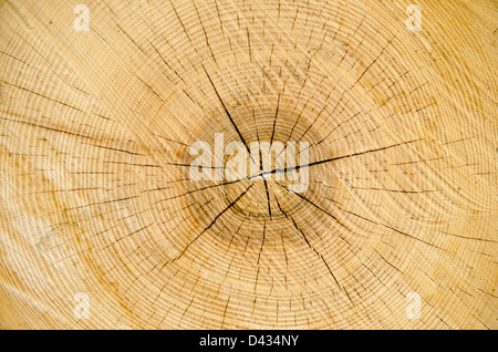 Detail from a cut oak trunk - Stock Photo