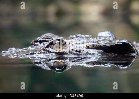 Saltwater crocodile, crocodylus porosus, Singapore Zoo, - Stock Photo