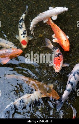 Orange white and multi colored koi carp fish swimming in for Carpe koi orange