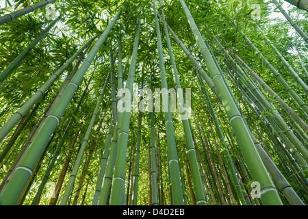 nature green background, zen bamboo forest - Stockfoto