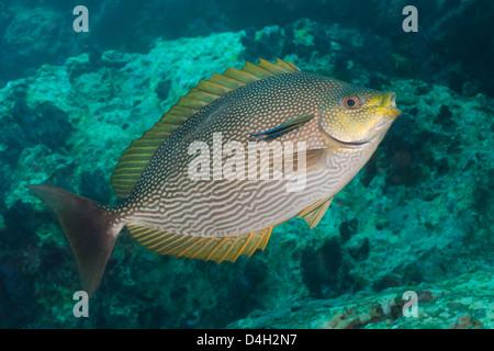 Maze rabbitfish (Siganus vermiculatus), Southern Thailand, Andaman Sea, Indian Ocean, Southeast Asia - Stock Photo