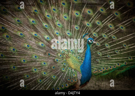 Peacock with feathers fanned out - Stock Photo