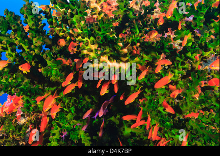 Colorful fish swimming in coral reef - Stock Photo