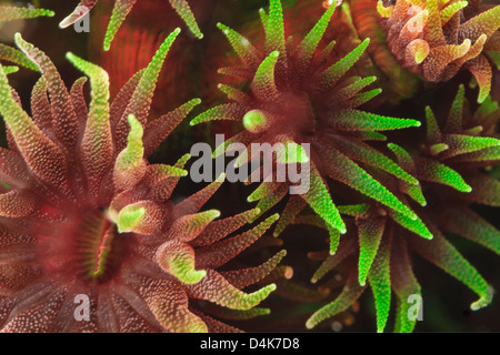 Colorful cup corals in coral reef - Stock Photo