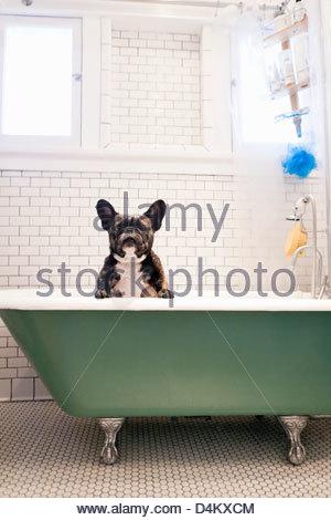 French bulldog sitting in bathtub - Stock Photo