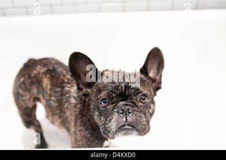 French bulldog standing in bathtub - Stock Photo