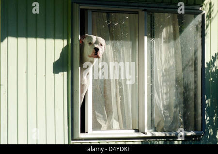 Amstaff dog looks out from a window. - Stock Photo