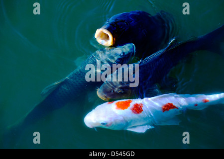 A single koi fish stock photo royalty free image for Koi pool cue