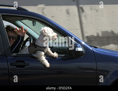 Santa Cruz de Tenerife, Spain, during the trip dog looks out from the open window of a car - Stock Photo
