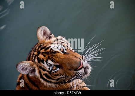 Tiger Temple Thailand - Stock Photo