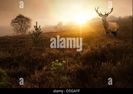 Beautiful forest landscape of foggy sunrise in forest with red deer stag - Stock Photo