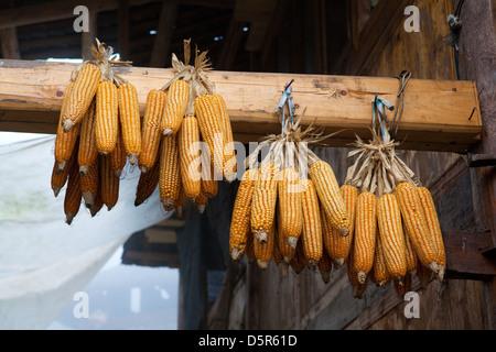Sweetcorn, Long-ji Rice Terraces, Ping-An, China - Stock Photo