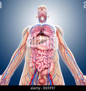Male anatomy, artwork - Stock Photo