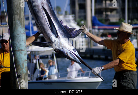 An Atlantic blue marlin (Makaira nigricans) is weighed and measured during a tournament in Port Aransas Texas USA - Stock Photo