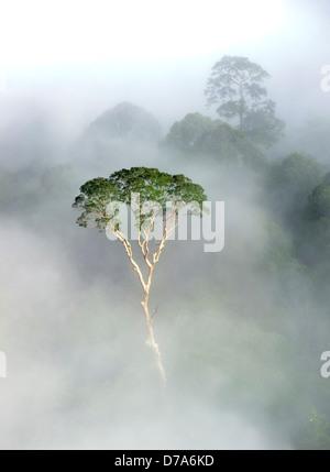 Emergent Menggaris tree Koompassia excelsa protruding mist low cloud hanging over lowland dipterocarp rainforest - Stock Photo