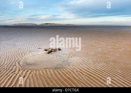 Embryo sand dune in intertidal area colonised by marram grass, Ammophila arenaria, Norfolk, England, December - Stock Photo