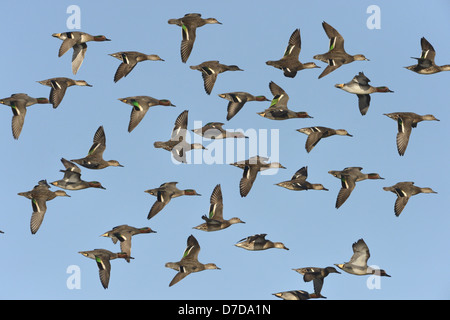Teal Anas crecca - Stock Photo