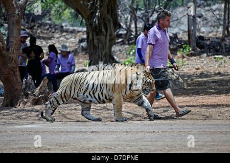 Keepers walking the tigers at the famous Wat Pa Luangta Bua tiger temple Kanchanaburi Thailand S.E. Asia - Stock Photo