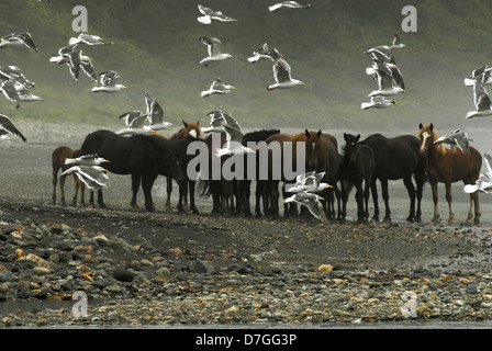 A herd of horses at the Pacific ocean coast and seaguls flying over. Kunashir Island, South Kuriles, Russia - Stock Photo