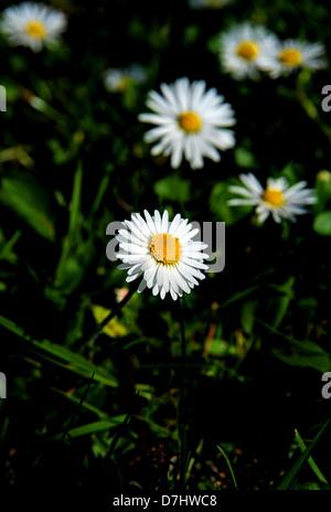 Common Garden Lawn Daisy scientific name Bellis perennis Photograph taken by Simon Dack - Stock Photo
