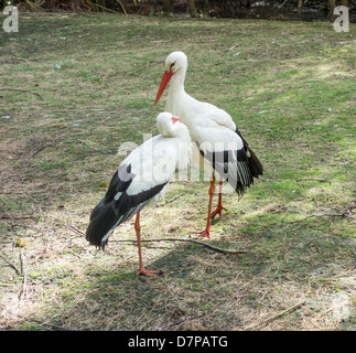 Paar weiße Störche Woodland Wildlife Park Herne Bay - Stockfoto