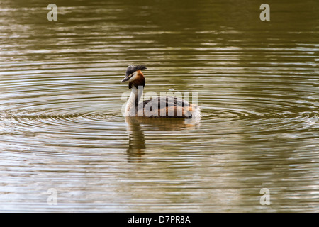 Great Crested Grebe swimming on lake in Sessex - Stock Photo