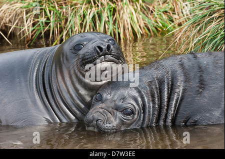 Two young Southern elephant seals (Mirounga leonina) playing in the water, Fortuna Bay, South Georgia Island - Stock Photo